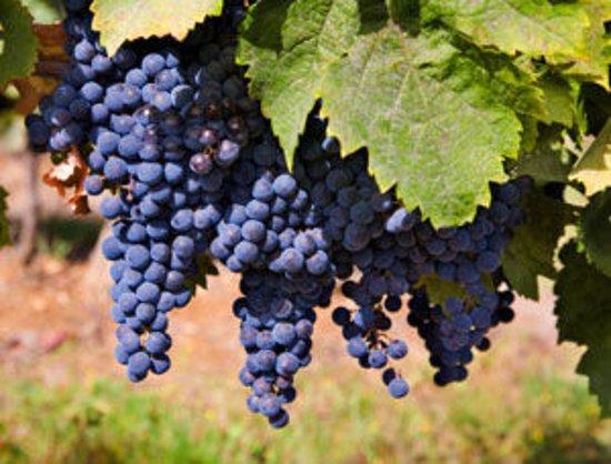 New Tripoli, PA: Merlot grapes