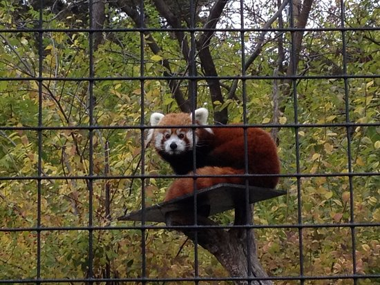 Manhattan, KS: Darling Red Panda