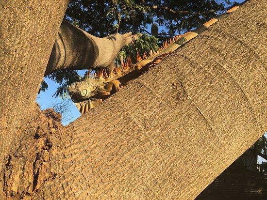 La Cruz de Huanacaxtle, México: The iguanas in the trees next door