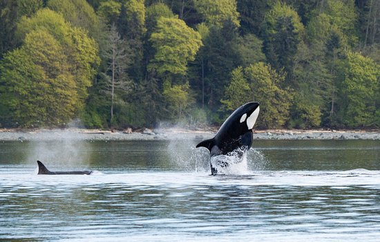Campbell River, Canadá: Springende orca