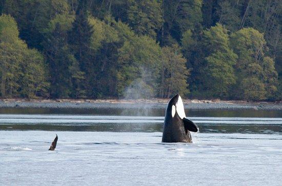 Campbell River, Canadá: Spyhop orca