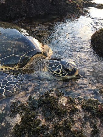 The Napili Bay: You can get this close to the turtles