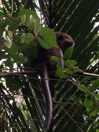 Pulau Ubin, Singapore: Monkey at Palau Ubin