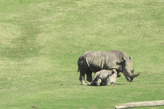 Escondido, CA: Baby hippo and mom seen from the tram
