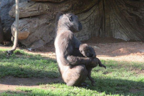 San Diego Zoo Safari Park: Baby gorilla and mom