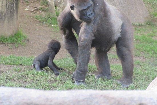 San Diego Zoo Safari Park: Baby and proud papa