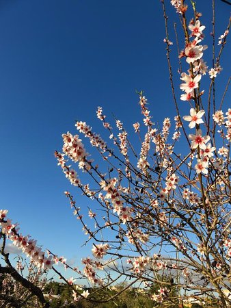 Sagres, Portugal: 13. of january and almond blossom,not every where to see in europe