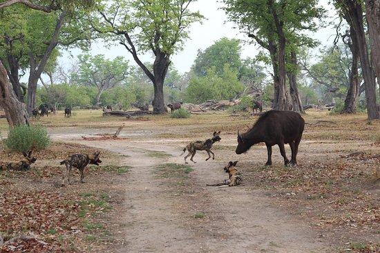 Maun, Botswana: dogs taunting a buffalo