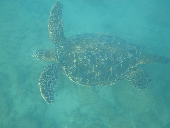 Sheraton Maui Resort & Spa: Don't touch or chase the sea turtles, this big guy is known as volkswagon and comes right up!