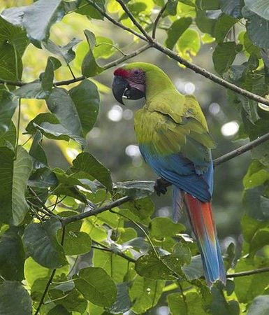La Virgen, Costa Rica: Endangered Great Green Macaw