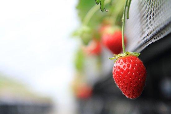 Sanmu, Japonya: 時期にもよりますが、私がいったときはこんなイチゴがたくさんなっていました!