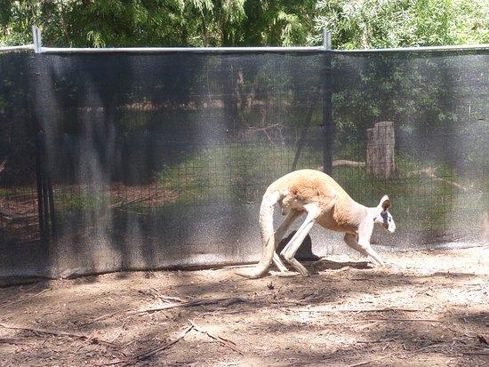 Healesville, Australia: Y conocimos los canguros