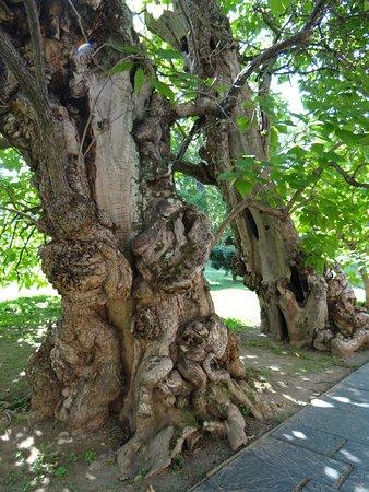 Fredericksburg, VA: catalpa tree