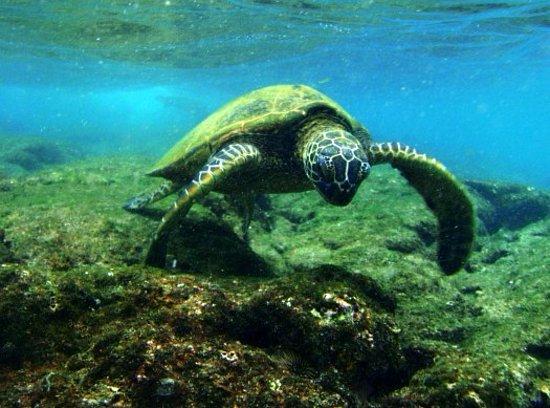 Keauhou, Hawái: sea turtle