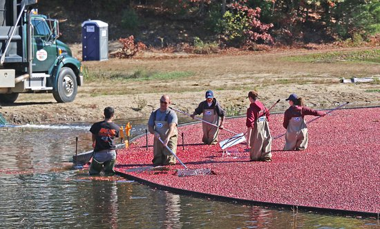 Foxboro, MA: Cranberry Harvest Time at the Patriot Place Nature Trail & Cranberry Bog