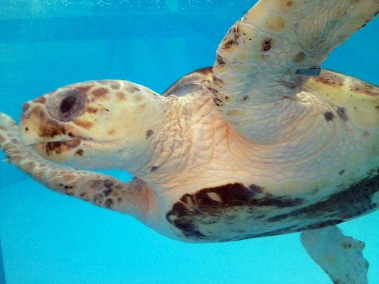 Juno Beach, FL: Mortimer, 57 lb Rescued Sea Turtle