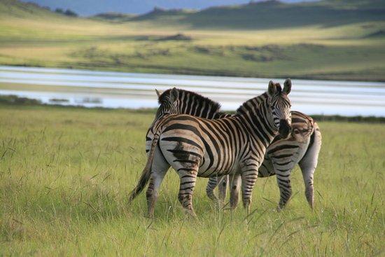 Himeville, Südafrika: Zebra