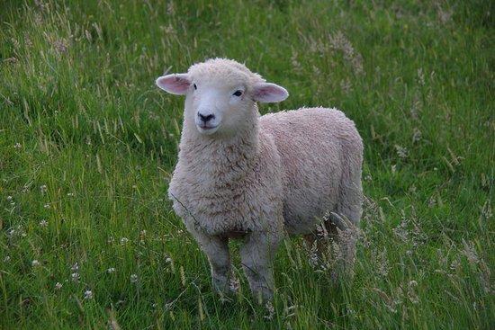 Owhango, New Zealand: Agneau de compagnie