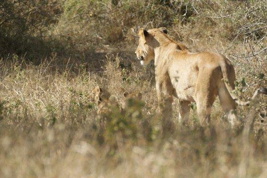 Calao Tented Camp: Lionne et Lionceau,