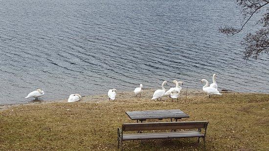 Millstatt, النمسا: Так вот где зимуют лебеди!