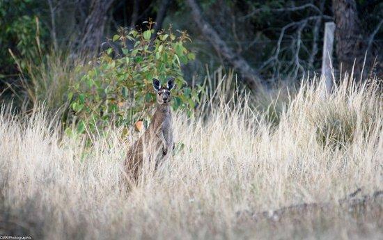 Mount Barker, Australien: Lots of wildlife on the property