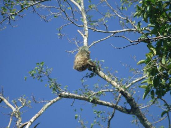 Cahuita, Costa Rica: Wild sloth.