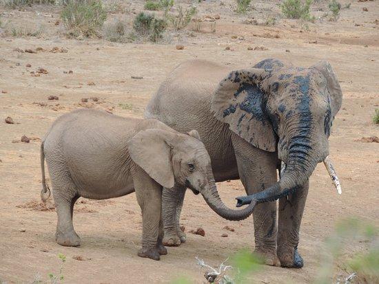 Addo Elephant National Park, Sudáfrica: Muita fofura.....