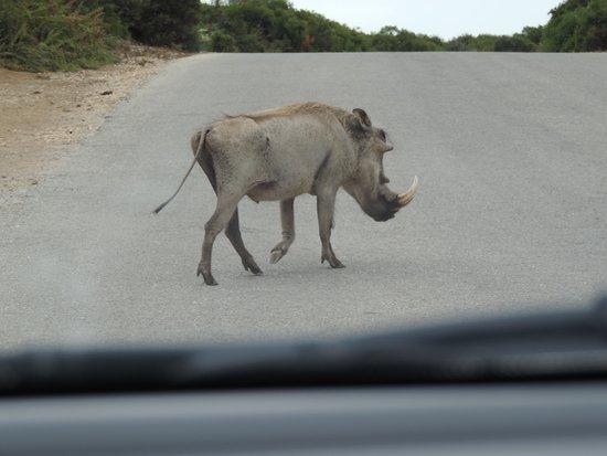 Addo Elephant National Park, South Africa: Pumba atravessando umas das estradas do Parque.