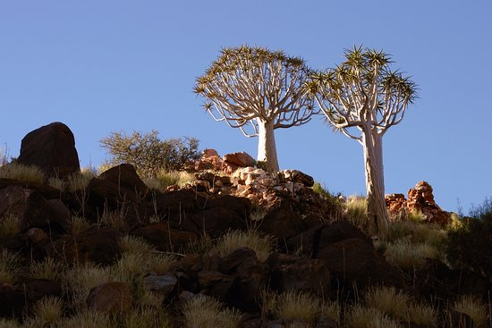 Augrabies Falls National Park, Sydafrika: The iconic Quiver Tree