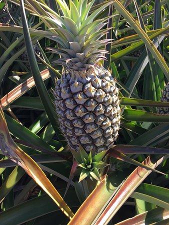 Pineapple Tour Maui Review