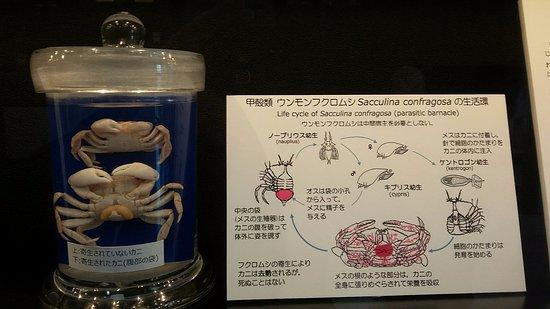 Meguro, Japón: Parasitic barnacle