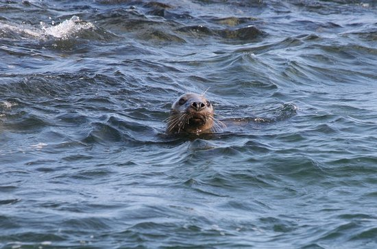 Barrow-in-Furness, UK: Seals you can spot off the shore