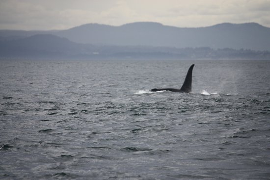 San Juan Islands, WA: Orca off west side of SJI