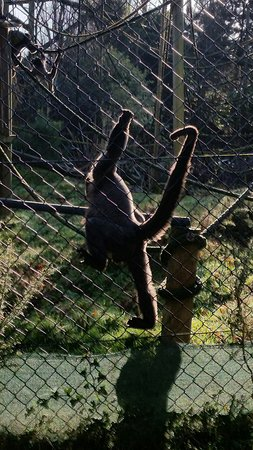 Monkey World: Woolly monkeys with their incredible tails.