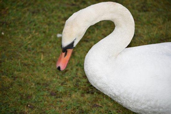 Barton under Needwood, UK: Swan