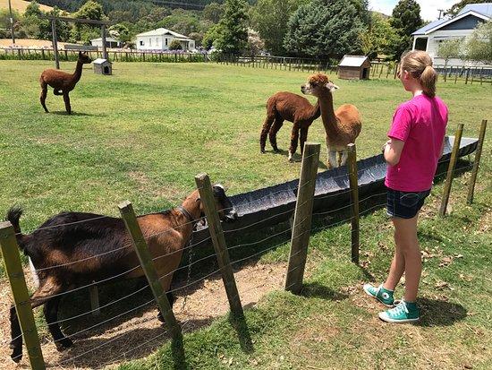 Matatoki, New Zealand: ...Alpacas...