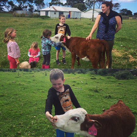 King Island, Αυστραλία: Our poddy Calf Lala loving the attention