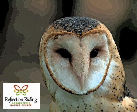 Reflection Riding Arboretum & Nature Center: Barn Owl
