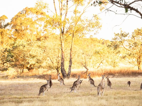 Sutton, Australia: Kangaroos in a field next to the park