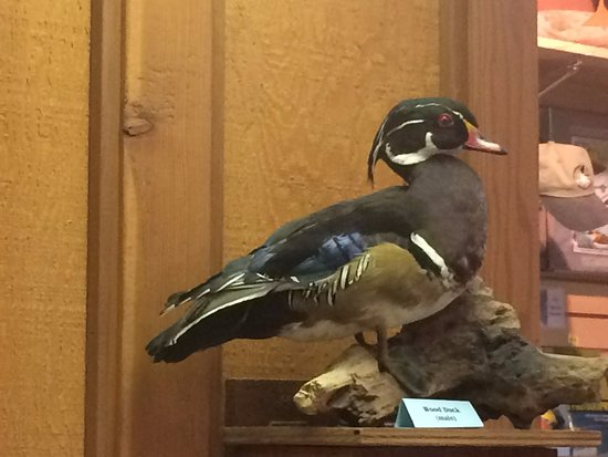 Willows, CA: Wood duck display at visitor center