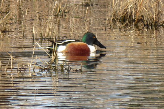 Willows, CA: Northern Shoveler