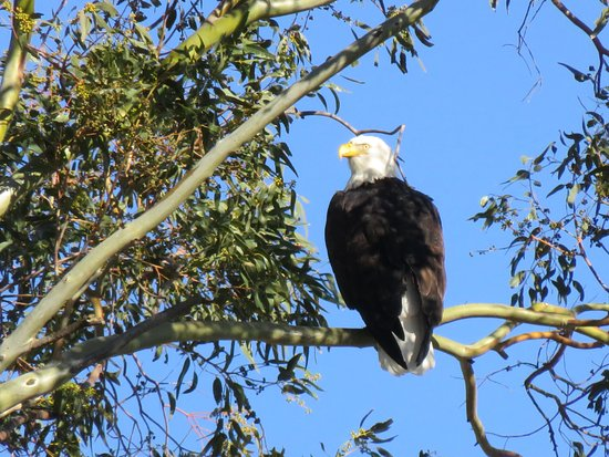 Willows, CA: Bald Eagle