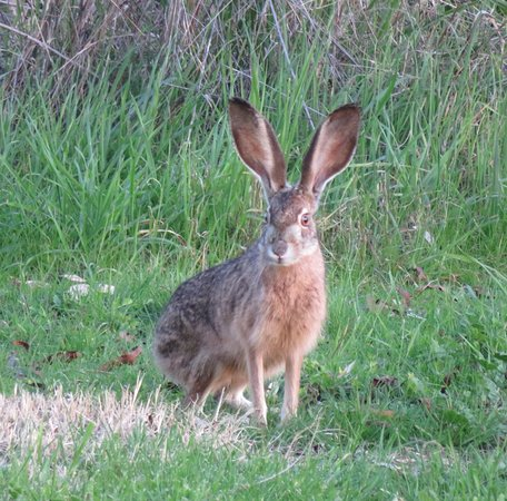 Willows, CA: Jack Rabbit