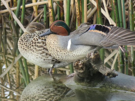 Willows, CA: Green Winged Teal pair