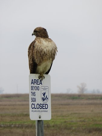 Willows, CA: Red Tail Hawk with a sense of humor
