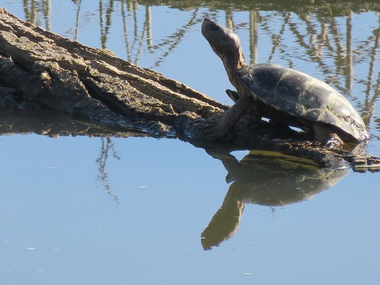Willows, CA: Western Pond Turtle