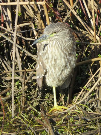 Willows, CA: Black Crowned Night Heron