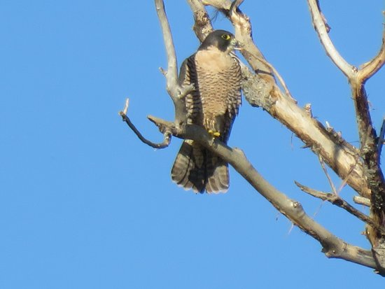Willows, CA: Peregrine Falcon