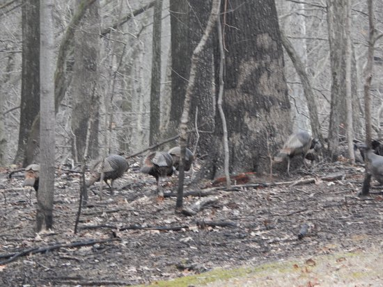 Marshall, IL: Wild turkeys.