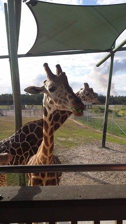 Lion Country Safari KOA Campground: Feeding the giraffes